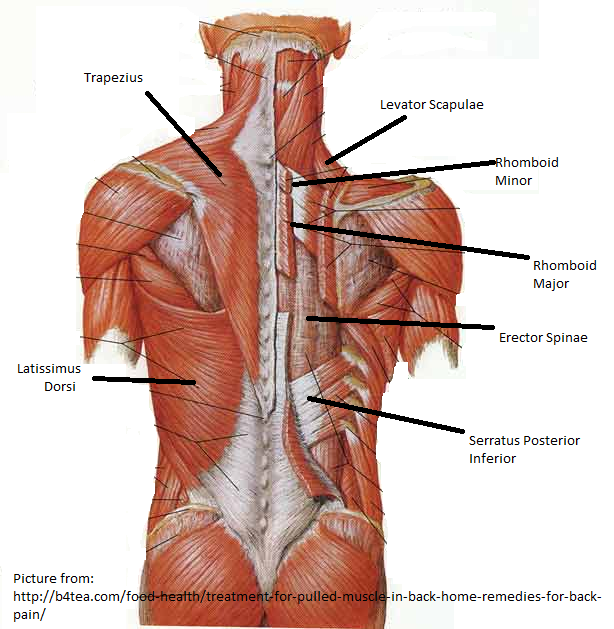 Muscles Of The Back on sternum model