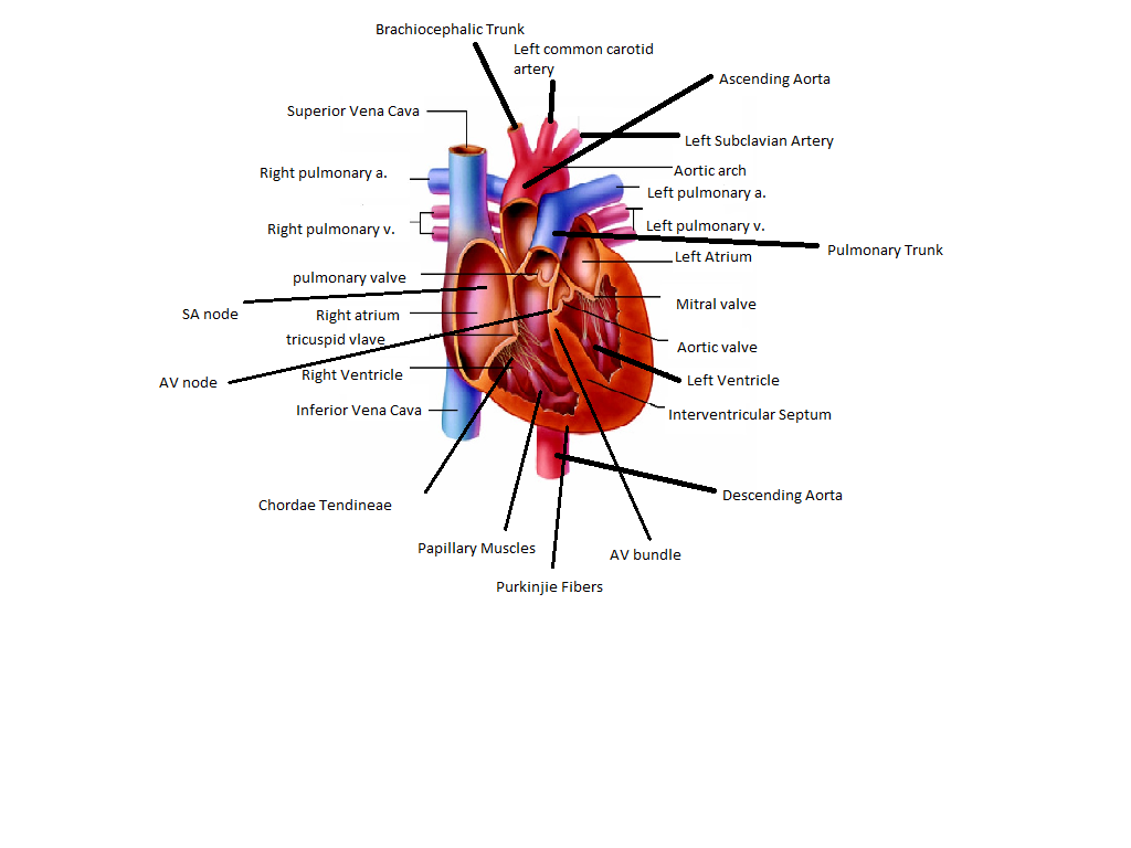 Heart Diagram Annas Anatomy Website